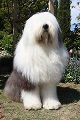 Old English ​Sheepdog​