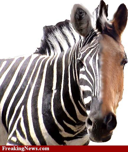 difference between zebra and horse difference between - HD 1000×1135