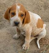American ​English Coonhound​