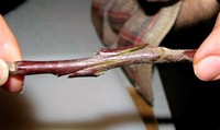 Whip and Tongue Graft