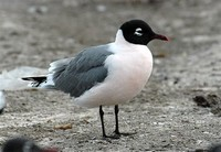 Franklin's Gull​