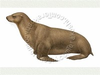 Japanese sea Lion