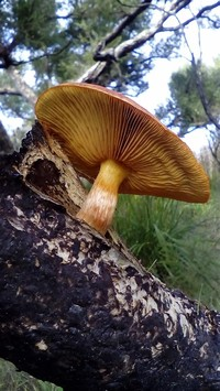 Gymnopilus Purpuratus