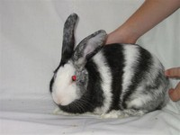 Harlequin ​Rabbit​