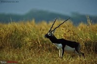 Blackbuck ​National Park, Velavadar​