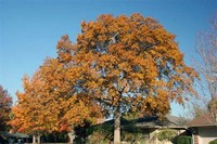 Northern Red ​Oak​