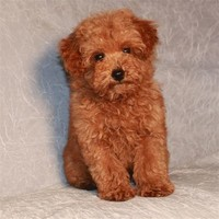 Poodle (toy and Miniature)