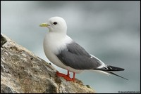 Red-Legged ​Kittiwake​