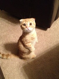 Scottish Fold​