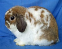 Holland Lop​