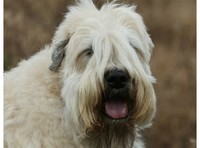 #2 – Soft Coated Wheaten Terrier