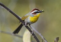Rufous-​Capped Warbler​