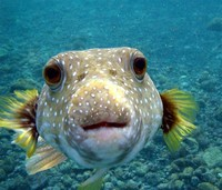 Pufferfish​