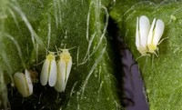 The Cotton Whitefly