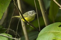 Three-Banded ​Warbler​
