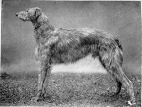 Scottish ​Deerhound​