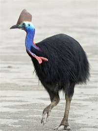 Southern ​Cassowary​