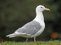 Glaucous-​Winged Gull​