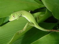 Neotropical ​Green Anole​
