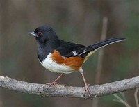 Sparrows, Towhees and Juncos