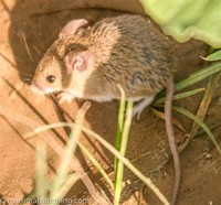 Little Indian ​Field Mouse​