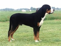 Greater Swiss ​Mountain Dog​