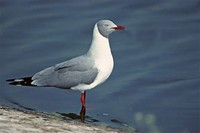 Grey-Headed ​Gull​