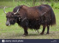 Domestic yak​