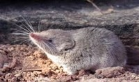 Nelson's ​Small-Eared Shrew​