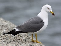 Black-Tailed ​Gull​