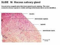 The Sublingual Glands Make Mucous Only