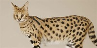 Savannah cat​