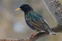 Common ​Starling​