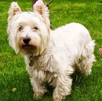 West ​Highland White Terrier​