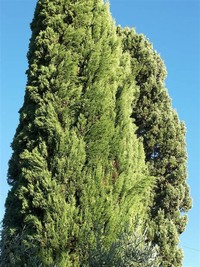 African Cypress