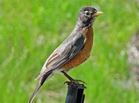 Robins: The Petroicid Something or Others