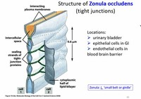 Occluding Junctions (Zonula Occludens or Tight Junctions)