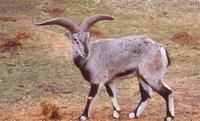 Blue Sheep or Bharal