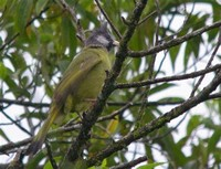 Crested ​Finchbill​