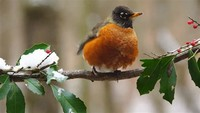 Robins: The Turdus Thrushes