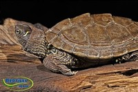 Mississippi Map Turtle Wikipedia