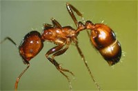 Level 1: Fire ant, Sweat bee
