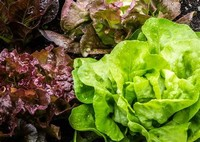 Lettuce Enjoy Fresh Salad Greens all Winter Long!
