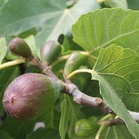 Common fig​