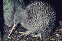 Great Spotted ​Kiwi​