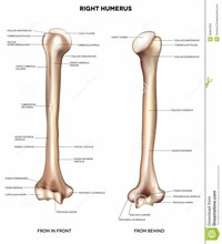 Humerus (arm Bone)