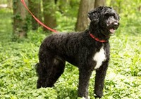 #4 – Portuguese Water Dog