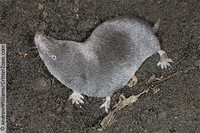 Kivu Long-​Haired Shrew​