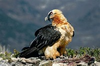Bearded ​Vulture​