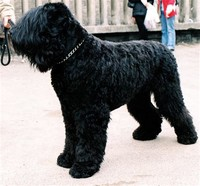 Black Russian ​Terrier​